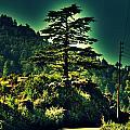 Lone Pine by Salman Ravish
