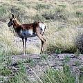 Lone Pronghorn by Susan Woodward
