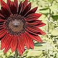 Lone Red Sunflower by Kerri Mortenson