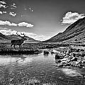 Lone Stag by Sam Smith Photography