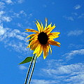 Lone Sunflower In A Summer Blue Sky by Amy McDaniel