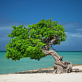 Lone Tree - Aruba by Brian Jannsen