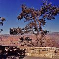 Lone Tree Along The South Rim by John Malone