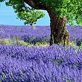 Lone Tree In Lavender by Brian Jannsen