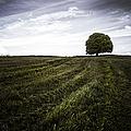 Lone Tree  by John Farnan