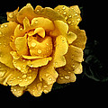 Lone Yellow Rose by Stephanie Hollingsworth