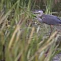 Lonely Heron by Hany J