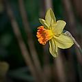 Lonely Daffodil by Charlie Choc