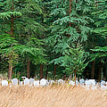 Lonely Graveyard Under Pine Trees by Leyla Ismet