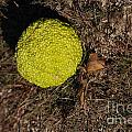 Lonely Hedge Apple by Mark McReynolds