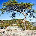 Lonely Lonesome Pine by Douglas Barnett