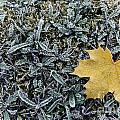 Lonely Maple Leaf And Grass Are Covered With Frost. by Oleg Hmelnits