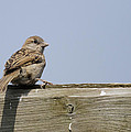 Lonely Sparrow by Simon Gregory