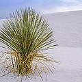 Lonely Yucca Plant In White Sands by Jean Noren