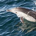 Long-beaked Common Dolphin Porpoising by Flip Nicklin