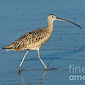 Long-billed Curlew by Anthony Mercieca