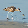 Long-billed Curlew Catching Crab by Anthony Mercieca
