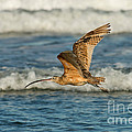 Long-billed Curlew Flying Over The Surf by Anthony Mercieca