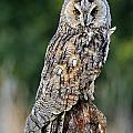 Long-eared Owl 4 by Arterra Picture Library
