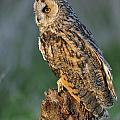 Long-eared Owl 8 by Arterra Picture Library