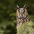 Long-eared Owl, Asio Otus (captive by Adam Jones