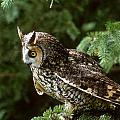 Long-eared Owl by Larry Allan