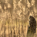 Long-eared Owl by Max Waugh