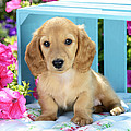 Long Eared Puppy In Front Of Blue Box by Greg Cuddiford