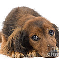 Long-haired Dachshund by Jean-Michel Labat