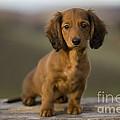 Long-haired Dachshund Puppy by Jean-Michel Labat