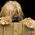 Long-haired Dog by Jean-Michel Labat