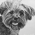 Long Haired Yorkshire Terrier by Kate Sumners