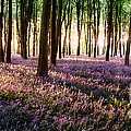 Long Shadows In Bluebell Woods by Simon Bratt Photography LRPS
