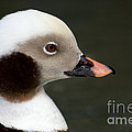 Long-tailed Duck by Anthony Mercieca
