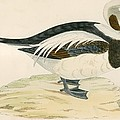 Long Tailed Duck by Beverley R. Morris