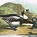 Long Tailed Duck by English School