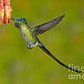 Long-tailed Sylph by Anthony Mercieca