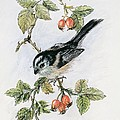 Long Tailed Tit And Rosehips by Nell Hill