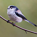 Long Tailed Tit   by Chris Smith