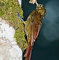 Long-tailed Woodcreeper by Anthony Mercieca