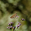 Long-winged Skipper Butterfly by Donna Brown
