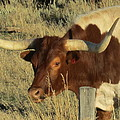 Longhorn # 2 by G Berry