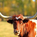 Longhorn  by Bruce Nikle