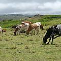 Longhorn Cattle by John Orsbun