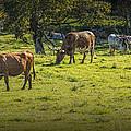 Longhorn Steer Herd In A Pasture by Randall Nyhof