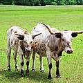 Longhorns by Betty LaRue
