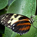 Longwing Butterfly by David and Carol Kelly