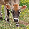 Look Into My Eyes - Jersey Cow - Square by Gill Billington