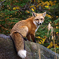 Looking Pretty Foxy by James Peterson