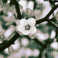 Looking Through The Blossoms 2 By Kaye Menner by Kaye Menner